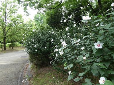 花博記念公園鶴見緑地 ムクゲの花