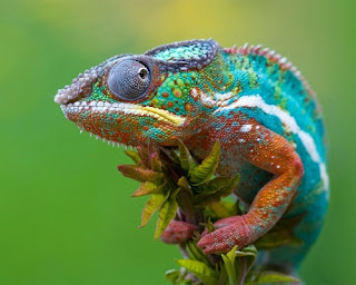 حيوان زاحف يتغير لون جلده