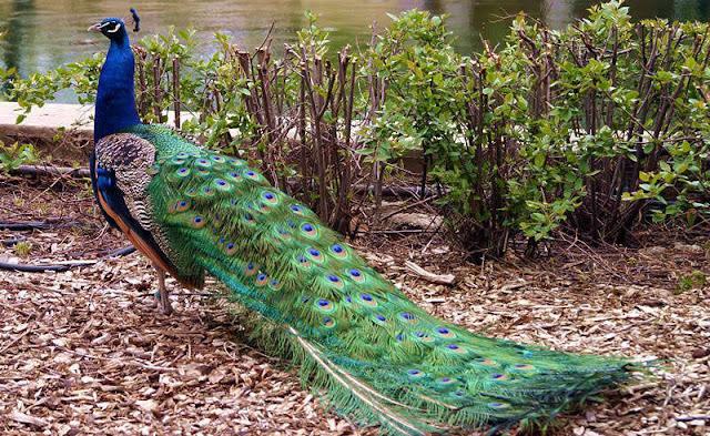 chim-cong-xanh-an-do