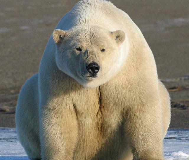 The Washington Times: a extinção dos ursos polares foi um dos espantalhos de Al Gore em 'An Inconvenient Truth'