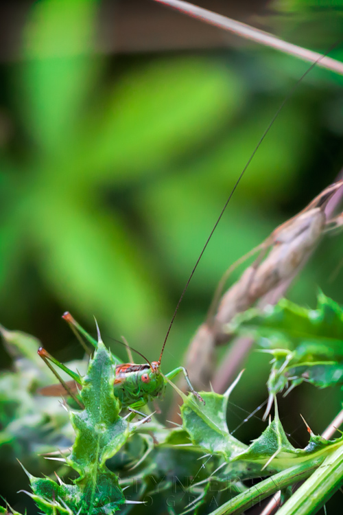 Macro image of a long-winged conehead with long antenna and bright green colours