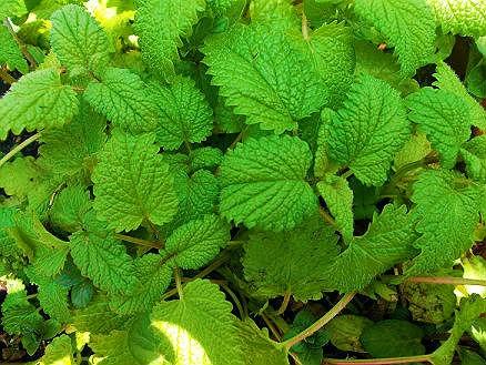 Fichas de plantas medicinales hierbas aromaticas y tiles - Planta de melisa ...
