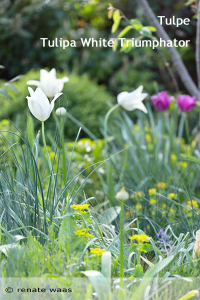 Tulpen gedeihen gut in einem sonnigen, trockenen, steinigen Beet - dann sind sie auch pflegeleicht und langlebig