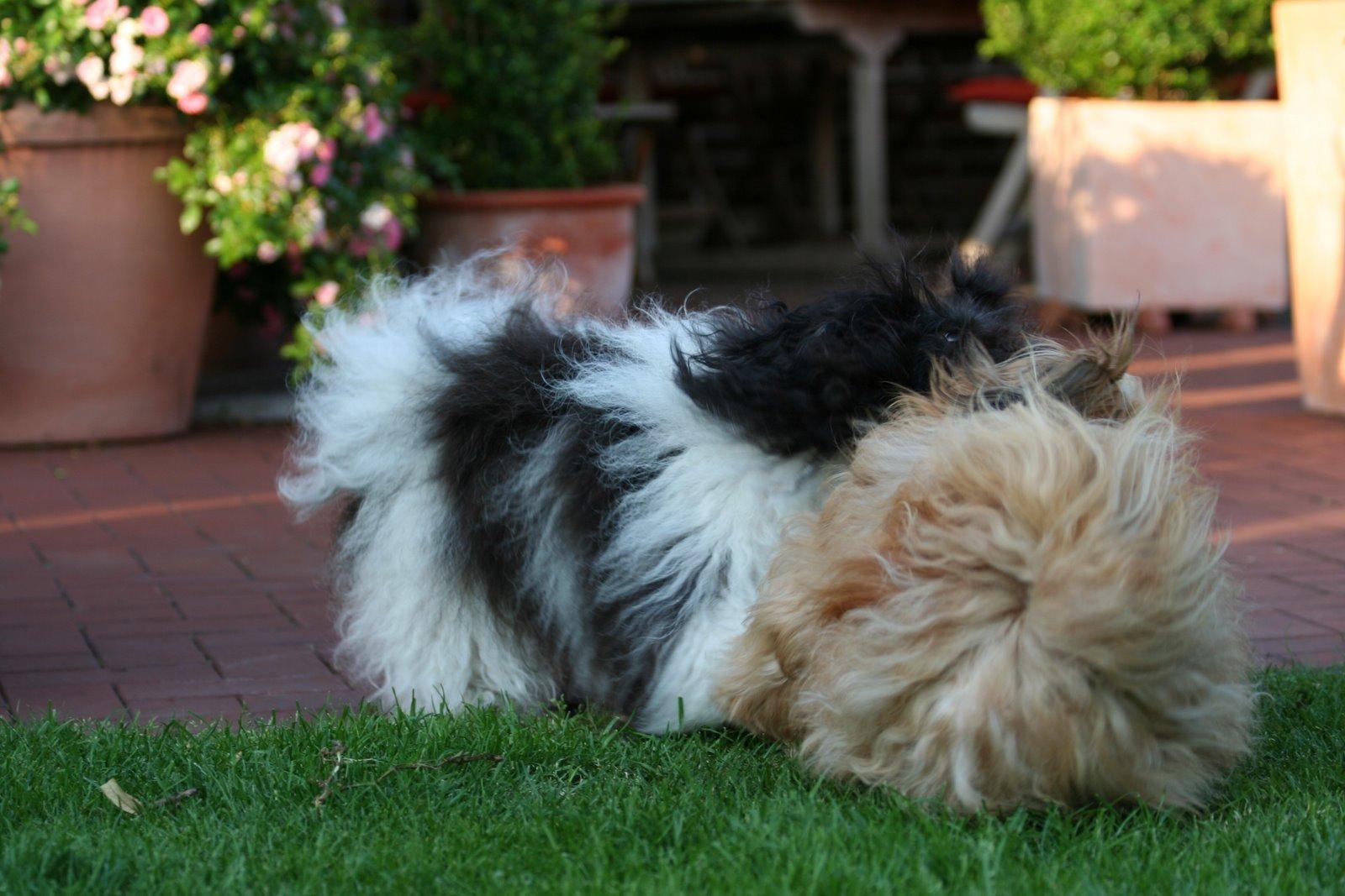 PEDORO HAVANESER ausgewachsen/erwachsen, Farbe schwarz weiß und rotzobel Libby u. Xenia