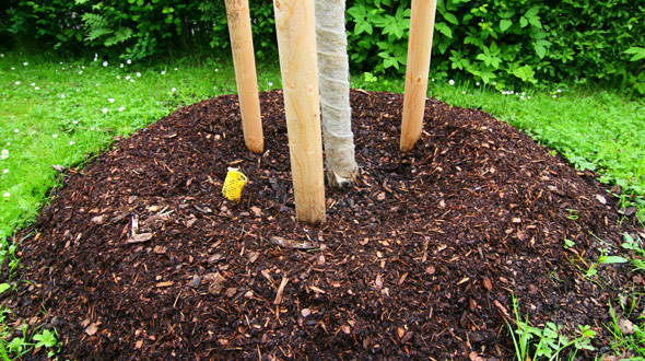 Professional mulching for a newly planted tree to stop weed growth in grassy lawn