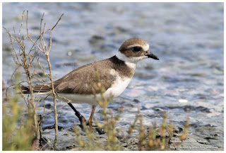 https://bioclicetphotos.blogspot.fr/search/label/Grand%20gravelot%20-%20Charadrius%20hiaticula