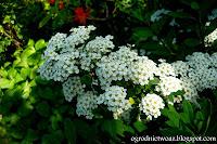Tawuła nippońska- Spiraea nipponica