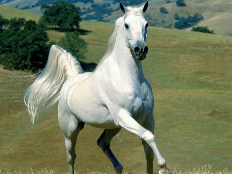 White horse wallpapercomputer wallpaper free wallpaper downloads white horse wallpaper voltagebd Image collections