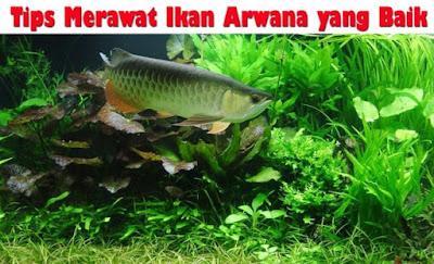 Tips Merawat Ikan Arwana yang Baik Sesuai Kebutuhannya