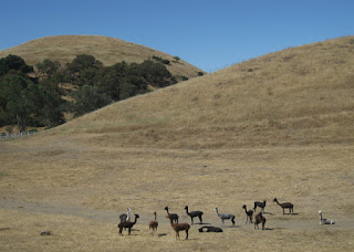 Herd of shorn alpacas at a ranch along Felter Road, San Jose, California