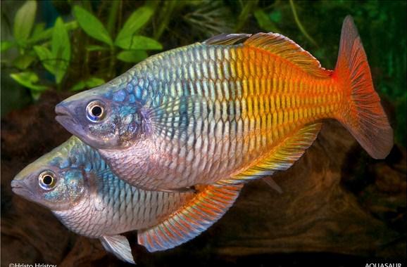 Budidaya Ikan Hias raonbow Boesemani