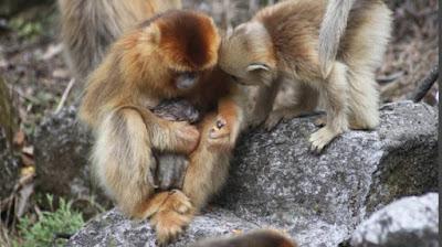 Ученые зафиксировали случай, как обезьяны помогают друг другу принимать роды.