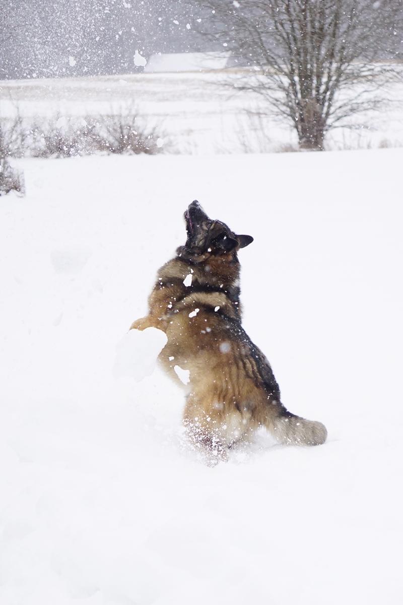 koira, lumi, talvi