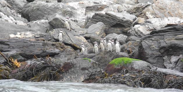 Grupo de pingüinos sobre rocas