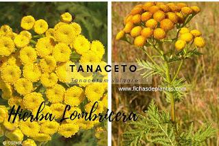 Tanacetum vulgare, Tanaceto o Hierba Lombricera