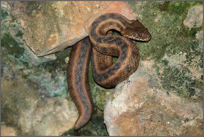 Culebra viperina (culebra de agua)