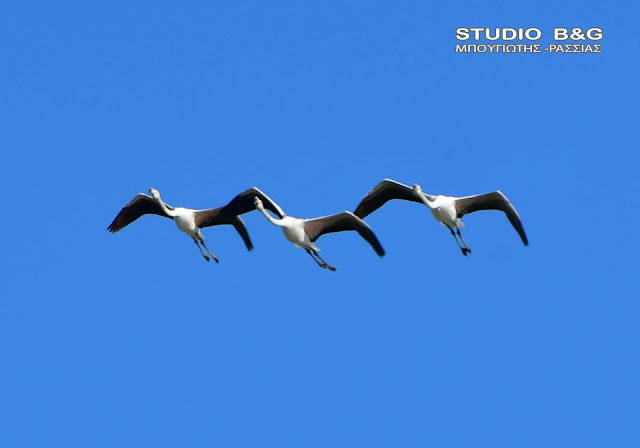 Συγχρονισμένες πτήσεις φλαμίνγκο πάνω από το Ναύπλιο