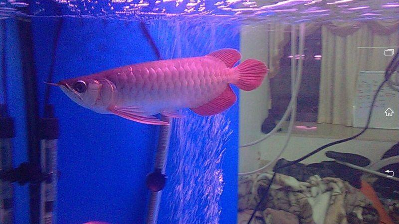 Gambar Pengaturan heater Arwana - Cara Mengatasi Ikan Arwana Yang Mogok Makan