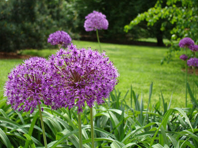 Alliums: mauve purple garden fireworks