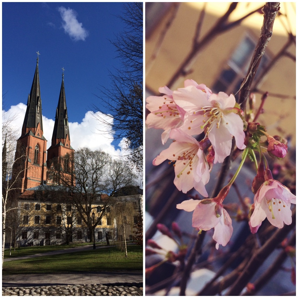 Uppsala domkyrka och körsbärsblommor