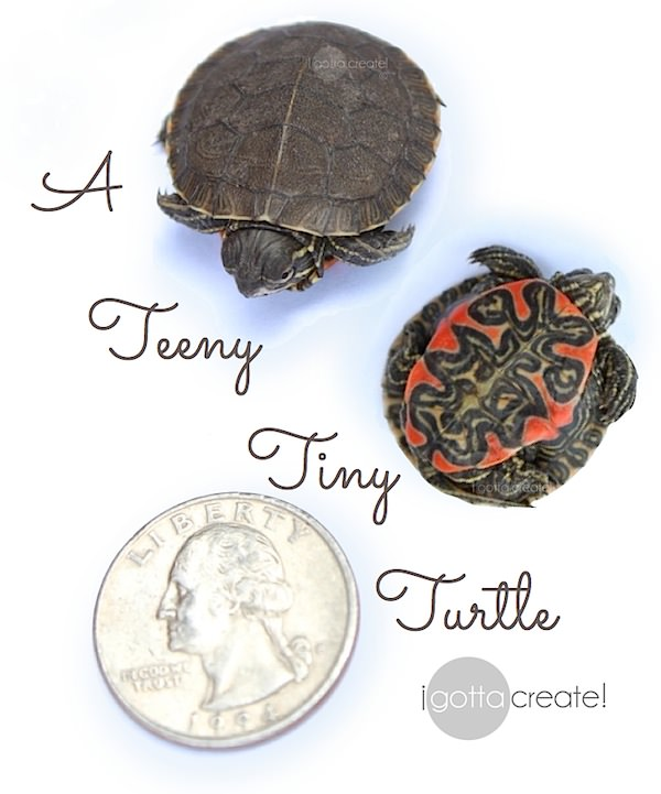Painted Turtle -- so tiny and sweet!! | Visit I Gotta Create!