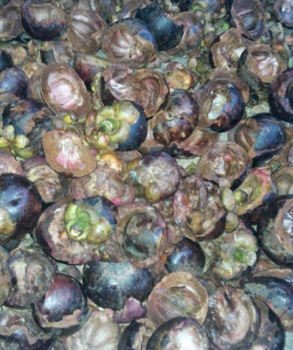 Manfaat Daun Sirsak Dan Kulit Manggis: Gambar Kulit Manggis Biji Manggis Buah Manggis Bibit