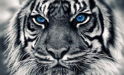 Report Text, Contoh Report Text, Contoh Report Text dan Arti/Terjemahan. Contoh Report Text Harimau Putih, Report Text White Tiger. | www.belajarbahasainggris.us