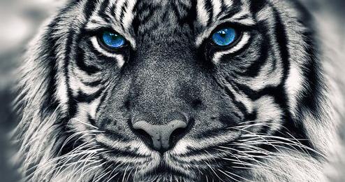 Contoh Report Text: Harimau Putih + Terjemahan