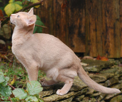 Encyclopedia Of Cats Breed Fawn Abyssinian Cat