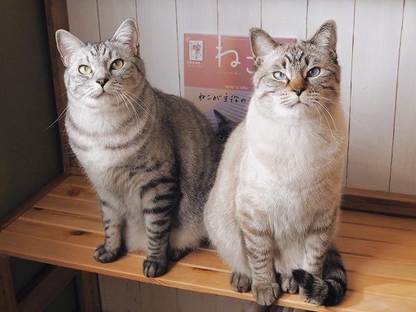 雑誌「ねこ」とサバトラ猫とシャムトラ猫の2ショット