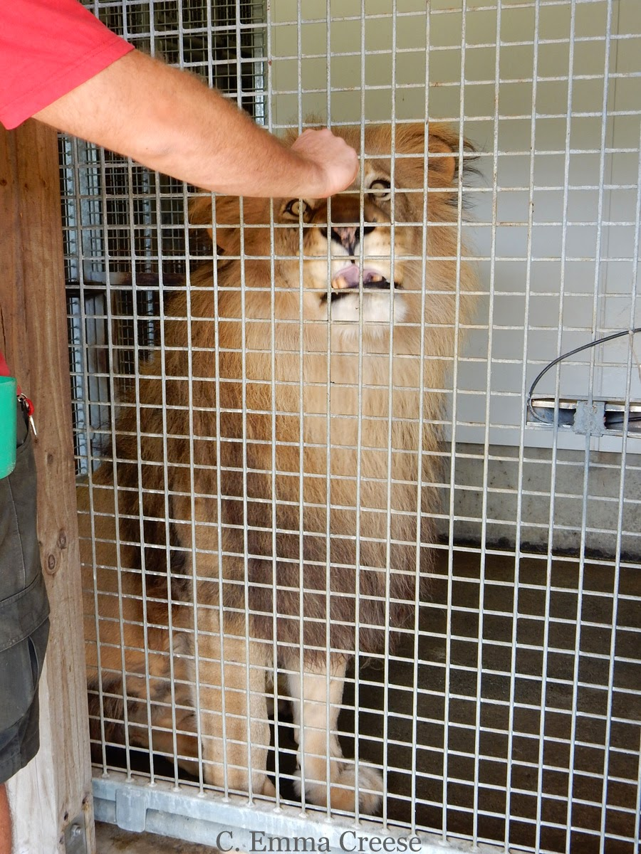 Feeding a Feeding a Lion at Wellington Zoo, New Zealand - Adventures of a London Kiwi