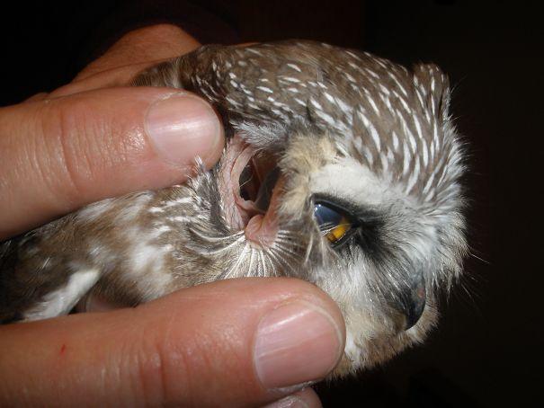 Anda Dapat Melihat Bagian Belakang Mata Burung Hantu Melalui Telinganya