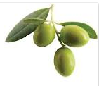 Nutritional contents of olive fruit