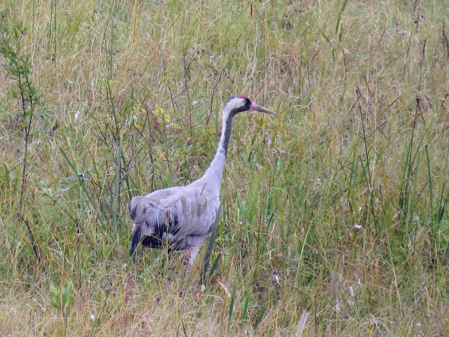 Finland road trip: Common crane at Siikalahti Nature Reserve in Eastern Finland