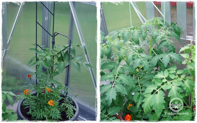 Gartenblog Topfgartenwelt Produkttest EMSA My City Garden: es dauert nicht lange und die Tomaten haben sich in den Blumentöpfen prächtig entwickelt