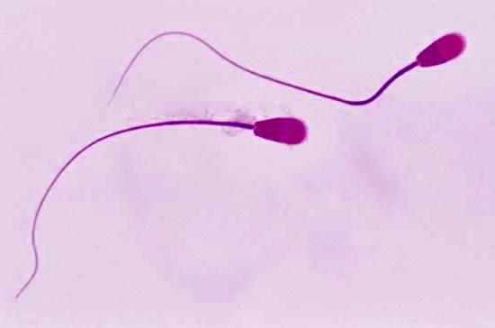 Espermatogénesis anatomía del pene y testículos