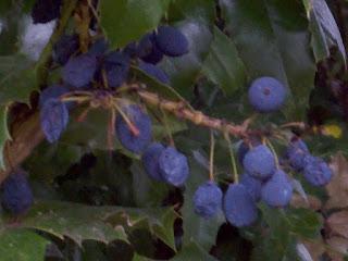 Oregon Grape Fruit pictures