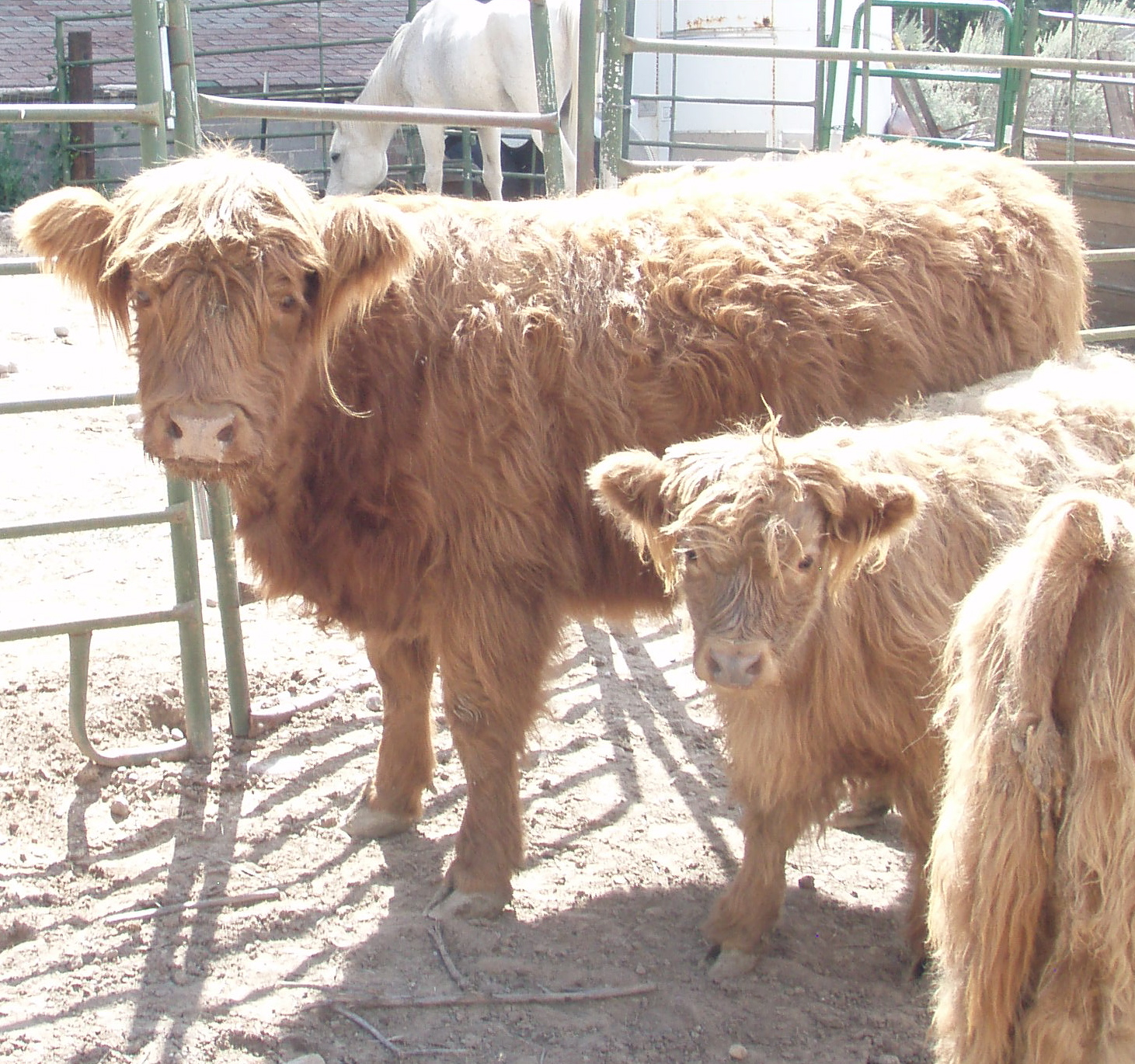 2 Pinons Ranch: Highland Cattle for sale.