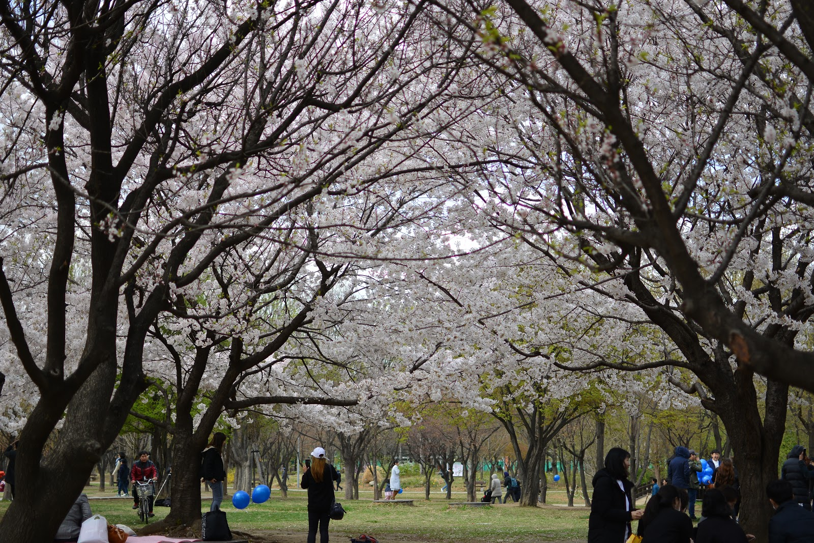 Cherry Blossoms at Seoul Forest