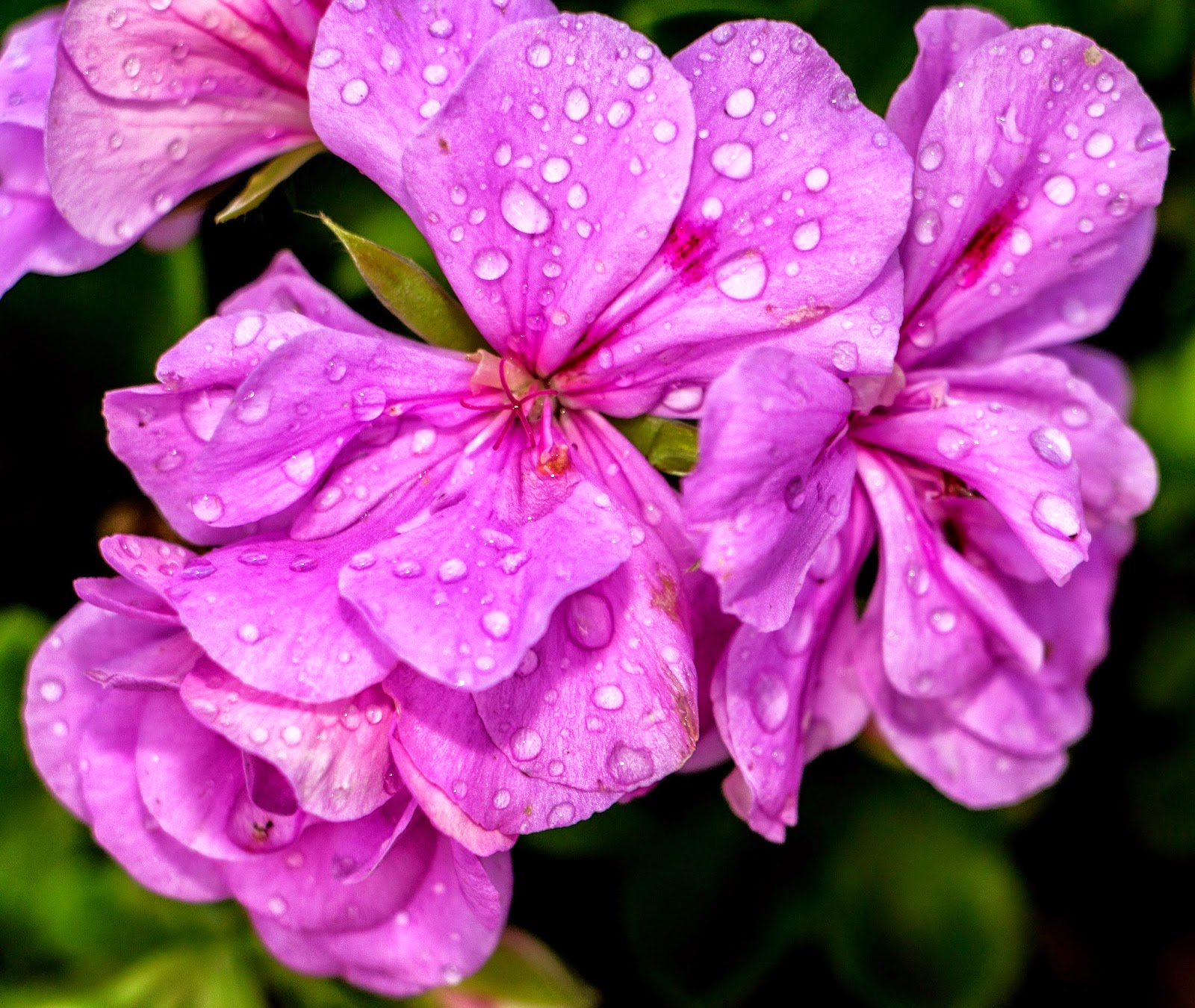 Flowers In The Rain Durbanville, Cape Town - Canon EOS 700D / EF-S 18-135mm IS STM Lens