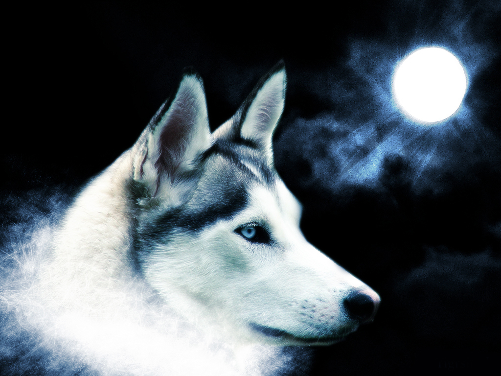 White Wolf Fresh Hd Wallpapers 2013 | Beautiful And ...