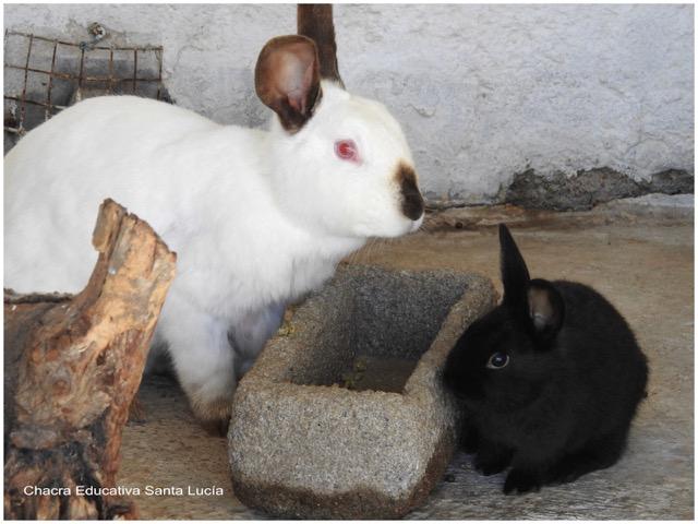 Coneja y conejo joven - Chacra Educativa Santa Lucía