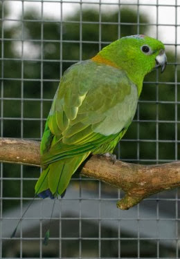 Dalam bahasa Inggris dikenal dengan nama  Mengenal Burung Kring-kring Bukit
