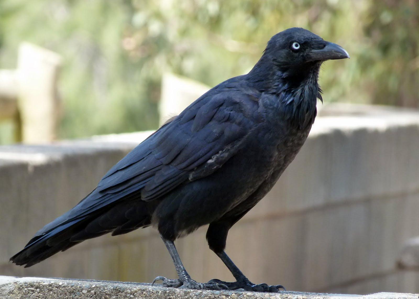 лучшее фото ворона затем все