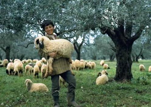 Image result for shepherd sheep