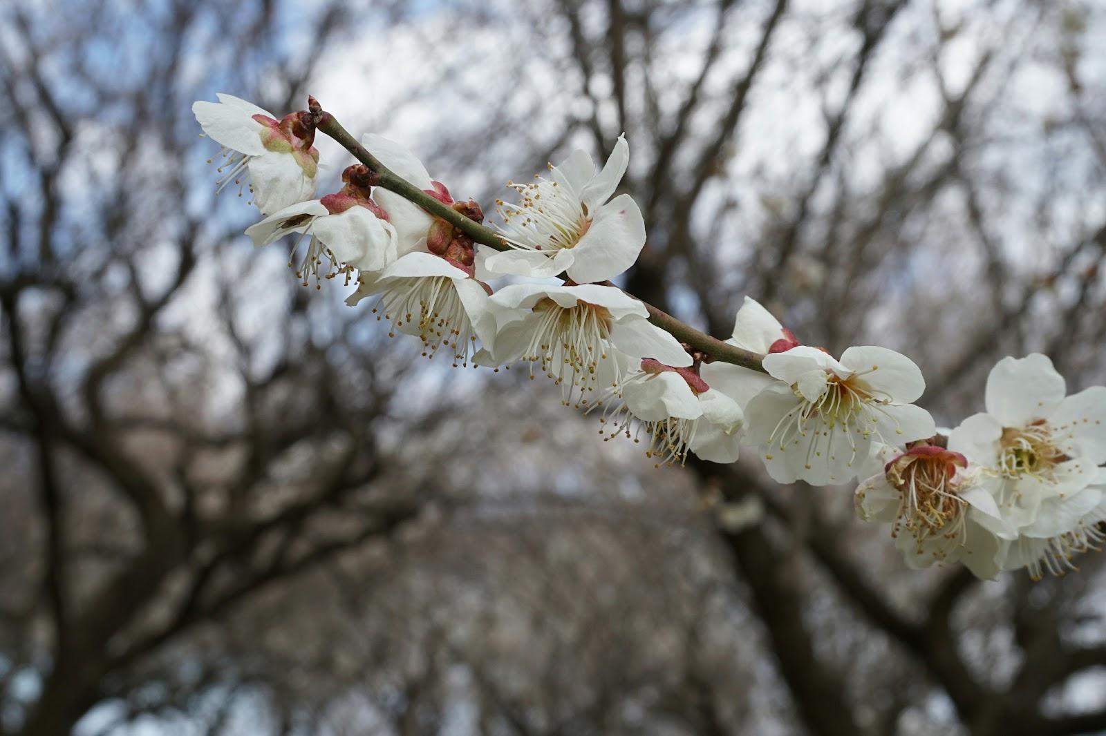 白梅の花咲いた小枝