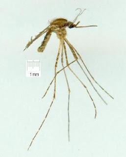 mosquito mansonia uniformis
