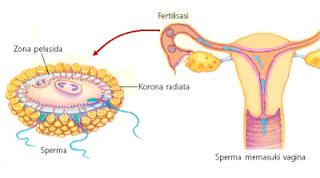 Fertilisasi adalah
