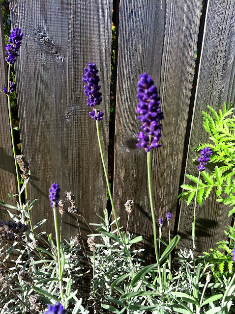 Lavender growing along my fence www.drjeanlayton.com
