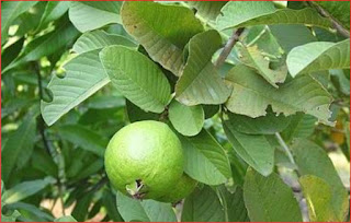 Benefits Guava Leaves